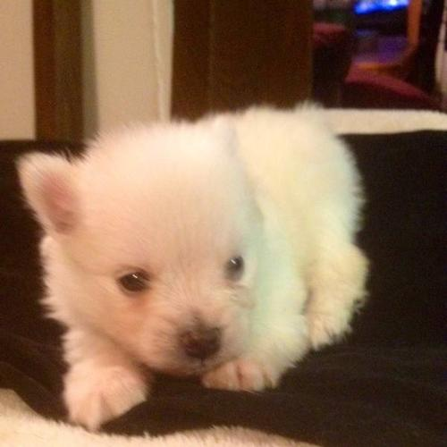 Pomeranian Puppies, READY TO GO in about 2 WEEKS