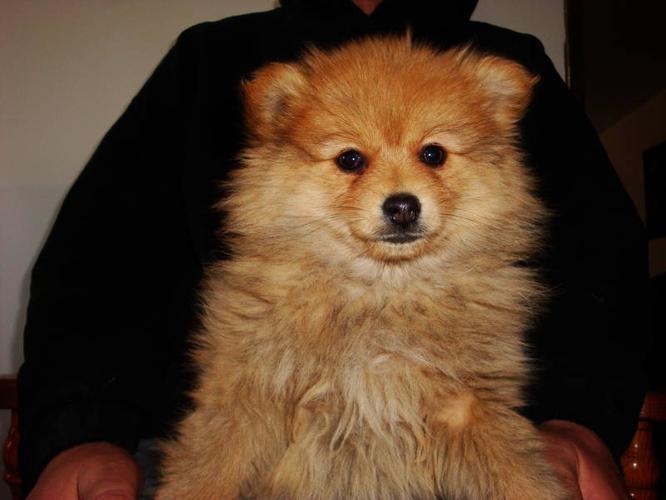 POMERANIAN Puppies for sale in Saskatoon, Saskatchewan - Nice Pets