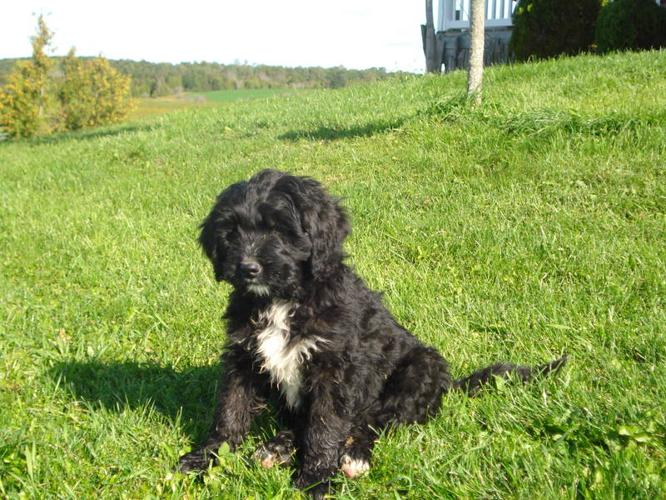 Price Reduced Bernedoodle Pups For Sale In Moorefield
