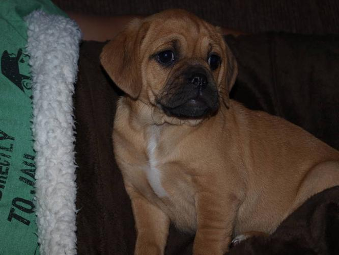 Puggle Puppy for sale