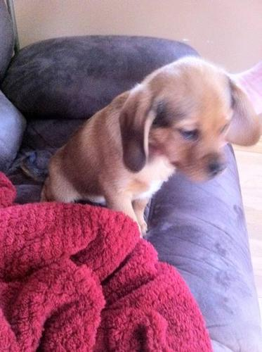 Puggle Puppy, new price! - Last one