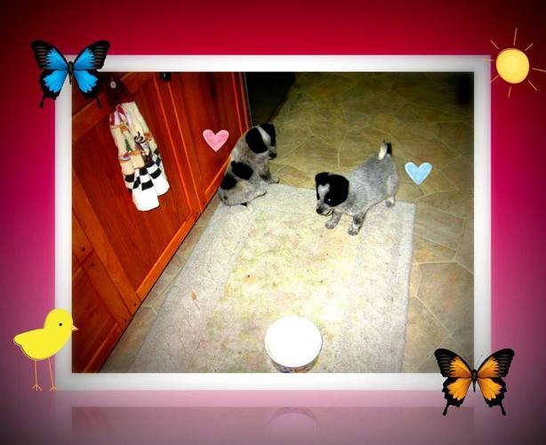 puppies- miniature american eskimo/blue heeler cross