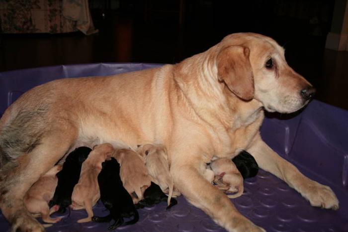 Purbred CKC Registered Labrador Puppies - SPCA # 0068