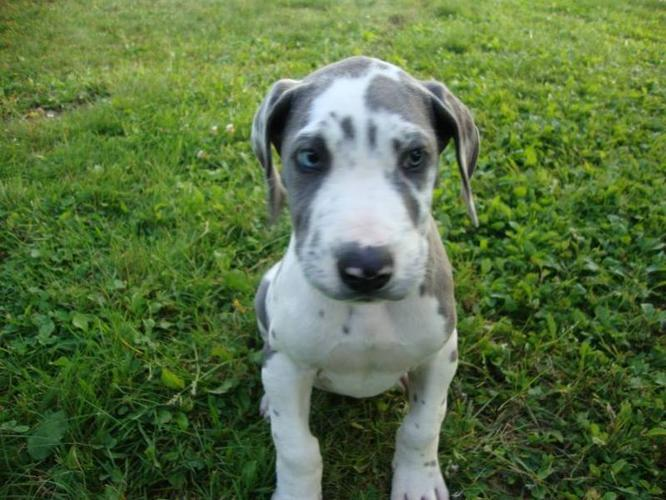 Pure Bread Great Dane Puppies