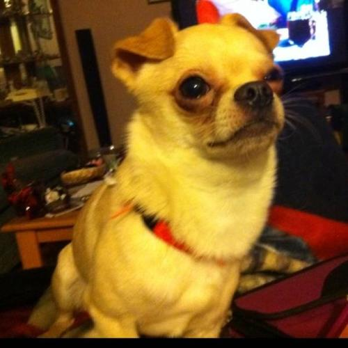 Pure bred Chihuahua (needs loving home)