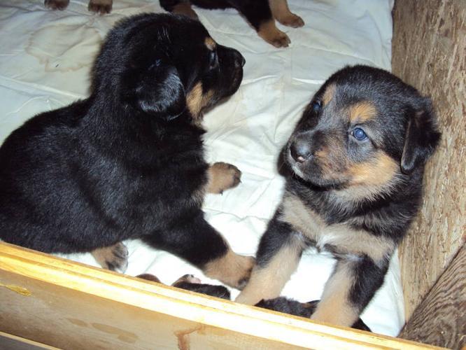 pure bred German Shepherd X pure bred Bernese mountain dog