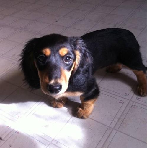 Pure bred mini dacshund