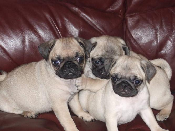 Pure breed PUG puppies
