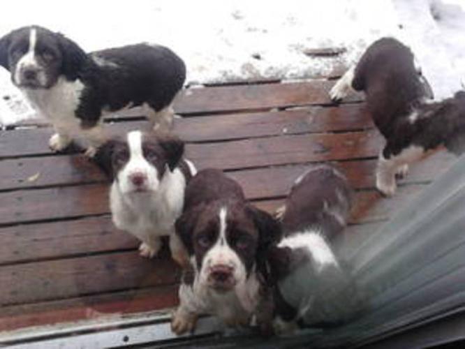 Purebread English Springer Spaniel Puppies!!!
