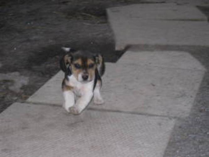 Purebred beagle puppies for sale in Vineland, Ontario - Nice Pets Online