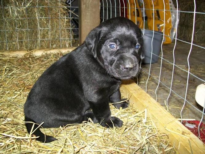 Purebred Black Labrador Retrievers- CKC Registered