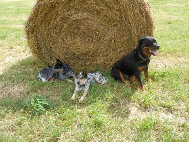 Blue Heelers For Sale : Purebred blue heeler pups for sale in edgewood british columbia
