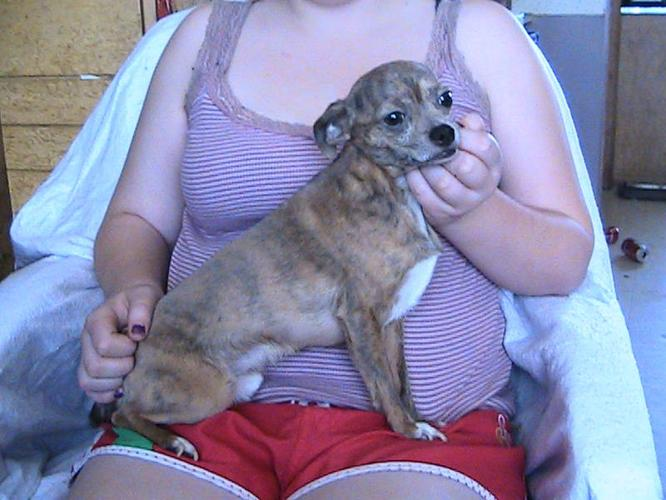 Purebred Brindle Colored Male Chihuahua For Sale. Asking $200.00