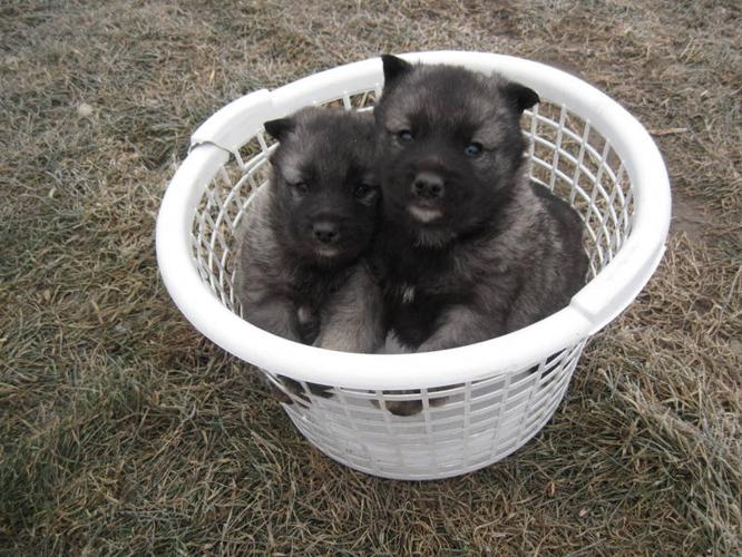 Purebred Norwegian elkhound puppies for sale