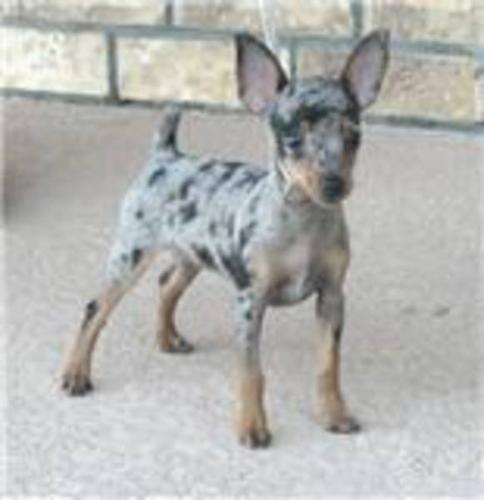 Purebred Toy Rat Terrier Pupies Not Yappy Dogs For Sale In Olds