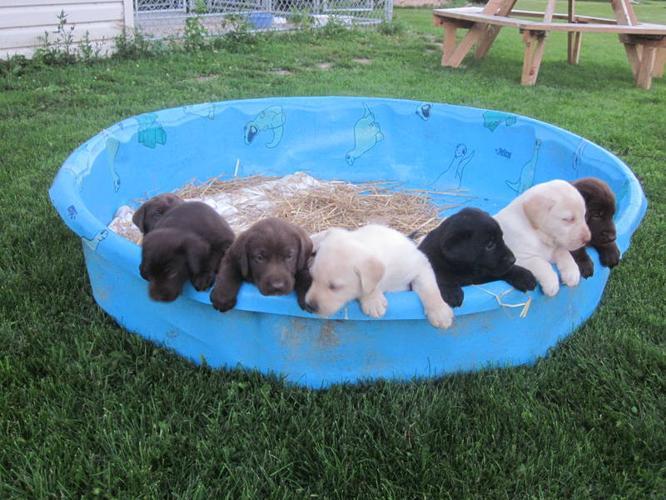 Puredred Labrador Retriever Puppies
