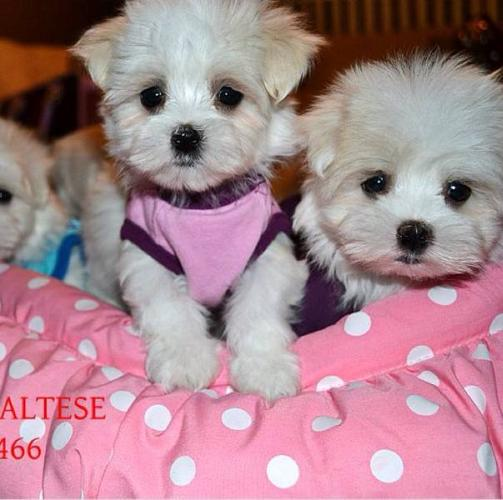 Quality Tiny Toy and Toy Maltese