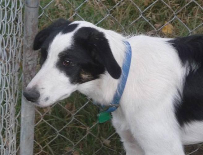 Registered border collie pup