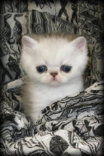 Registered Persian and Exotic Shorthair Kittens Available