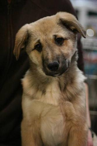 RESCUE AKITA SHEPHERD X PUPPIES FOR ADOPTION!! WHARF RESCUE