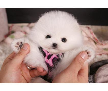 Sasha Is A Teacup Pomeranian Puppy She Will Love To Join Your Home