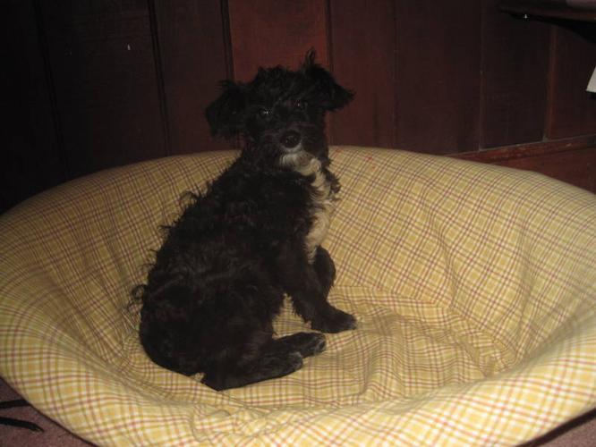 Schnoodle (mini Schnauzer-mini Poodle)
