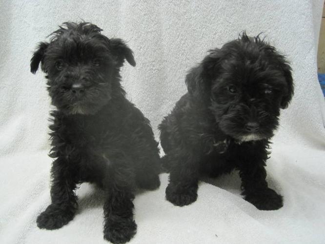Schnoodle Puppies (Mini Schnauzer-Mini Poodle)