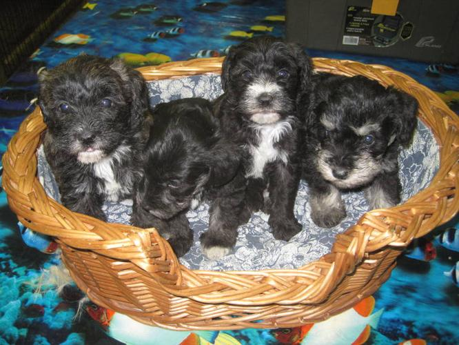 Schnoodle Puppies ( Ready to go just in time for Christmas!!!!)
