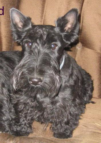 Scottish Terrier Male (CKC Registered with Full Breeding Rights)