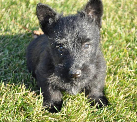 Scottish Terrier Puppies!!! CUTE!!