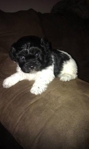 Shih-Poo x Sheltie Pups (ONLY 2 MALES LEFT!)