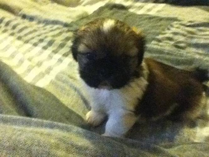 Shih Tzu And Pekingese Mix For Sale In Cornwall Ontario Nice Pets