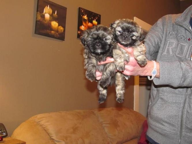 Shih Tzu Puppies One Femaleone Male For Sale In Goderich Ontario