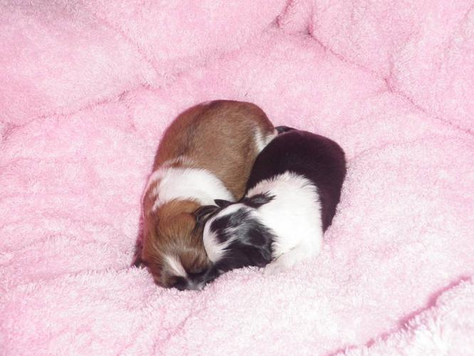 Shih Tzu Puppies: Only 2 left!