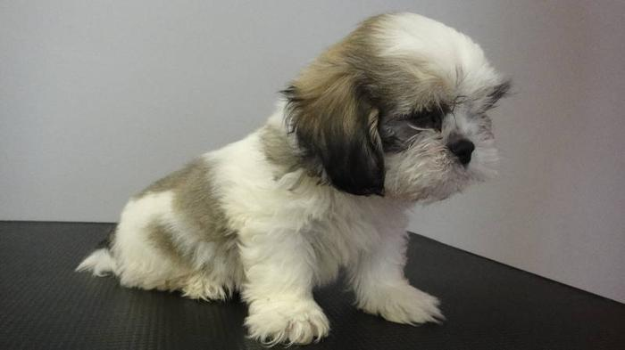 SHIH TZU PUPPIES READY TO GO NOW!