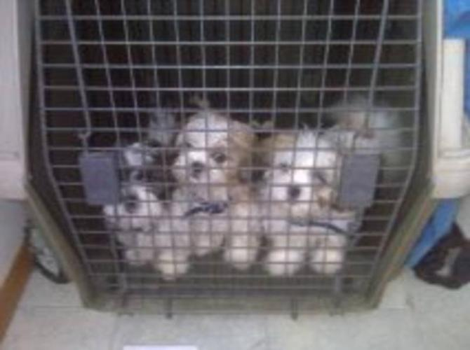 Shih Tzu Puppies for sale in Three Hills, Alberta - Nice