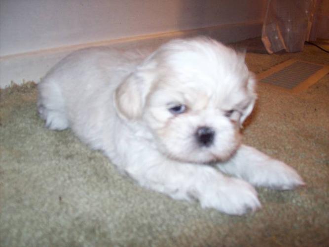 Shih Tzu Puppy reduced to $450