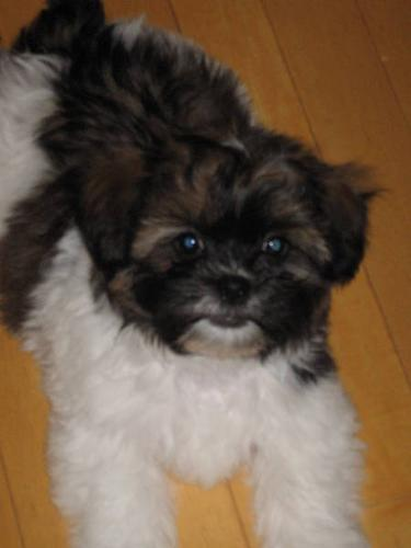 Shih Tzu/Bichon X puppies for sale
