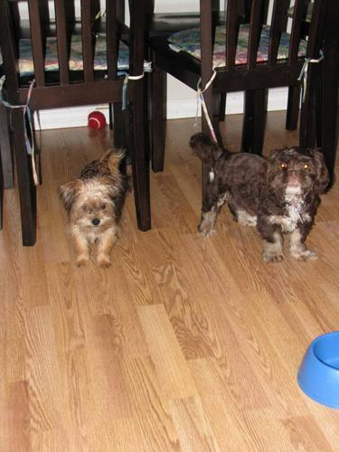 Shitzhu/Yorkie and Shitzhu Puppies