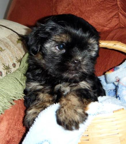 Shorkie pups ONLY 2 LEFT!!