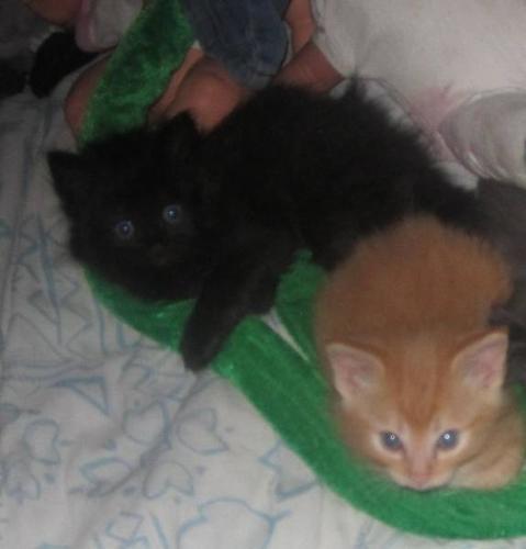 Siamese/himalayan cross kittens