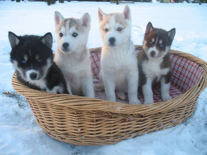 Siberian Husky Puppies - CKC Registered
