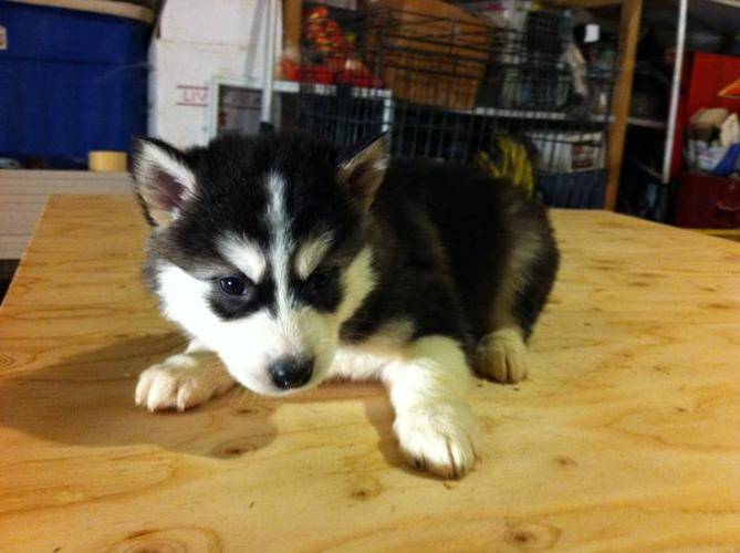 siberian husky puppies for sale in London, Ontario - Nice Pets Online