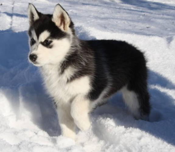 All-black Siberian Husky Related Keywords & Suggestions - All-black ...