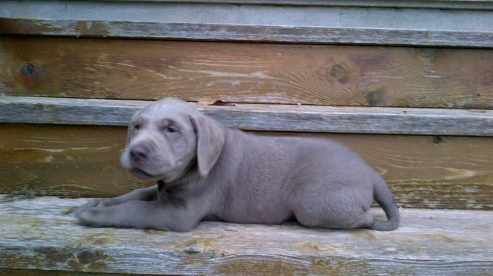Labrador retriever for sale london