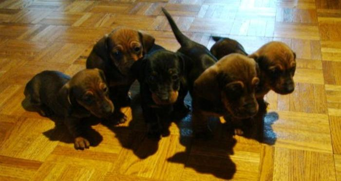 Small Miniature Dachshund puppies