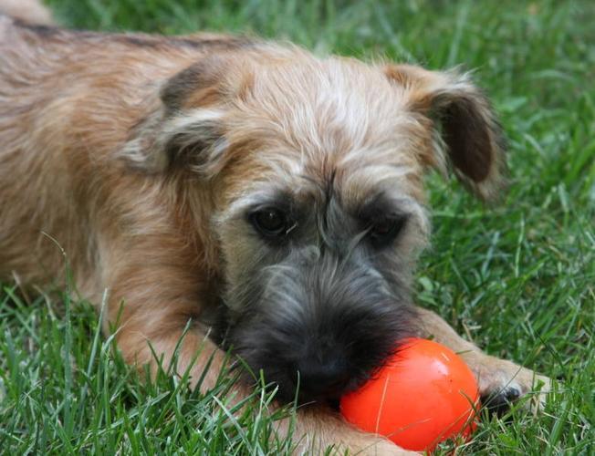 Soft Coated Wheaten Terrier Female Pups