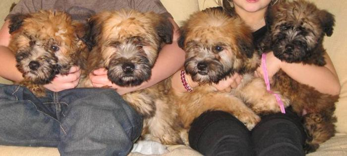 Soft Coated Wheaten Terrier Puppies 100% purebred