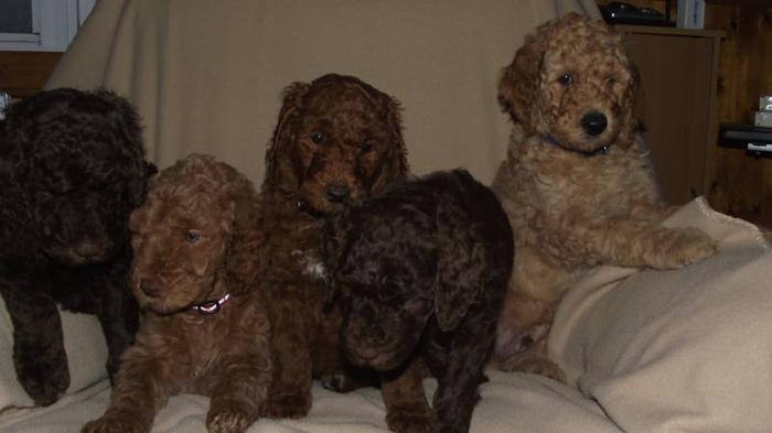 Standard Poodle Pups! READY NOW! Brown, Red, Apricot, Black!