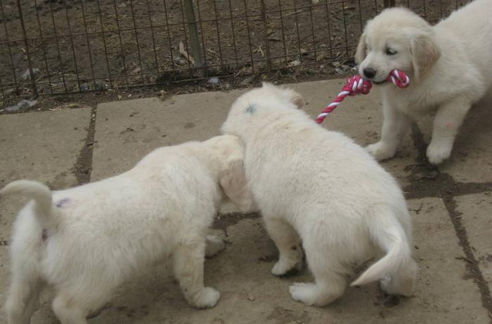 Stunning Golden Retriever puppies CKC registered